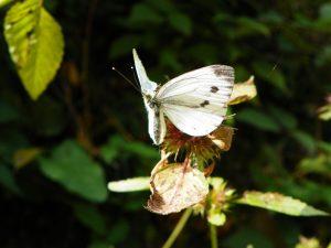 kupusni bijelac