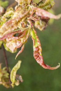 Damaged leaf peach almond Taphrina deformans disease cloque