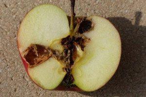 granupom-steta-jabucnog-savijaca