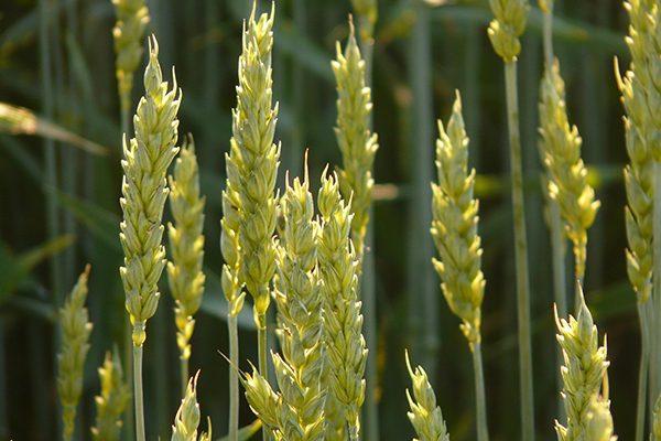 wheat-8244